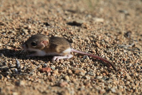 baby kangaroo rat exploring