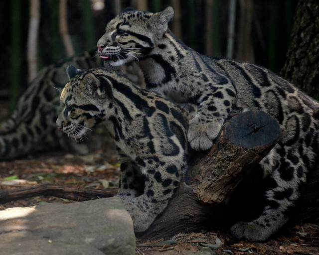 Clouded Leopard Piggyback Ride