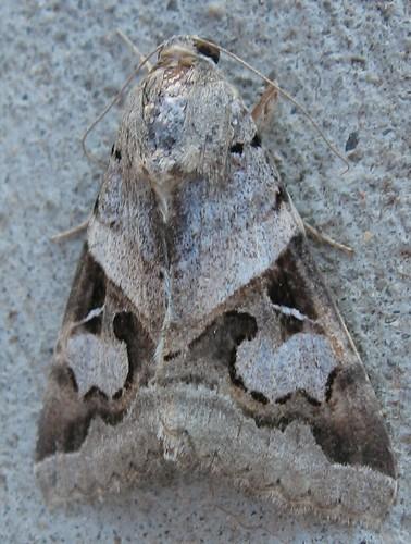 Indomitable Melipotis, female