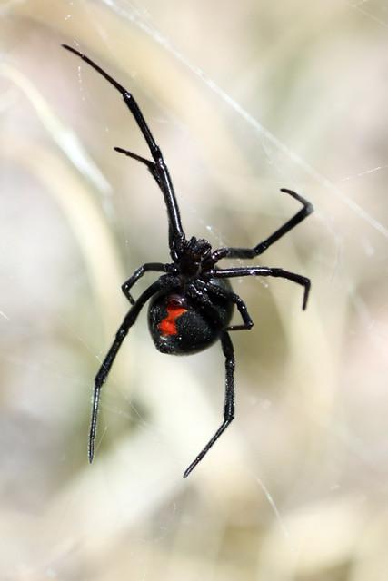Western Black Widow (Latrodectus hesperus)