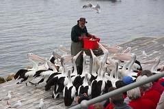 Pelican Begging