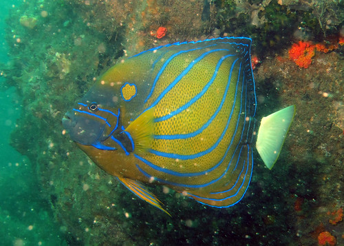 Angelfishes of Singapore (2/4)