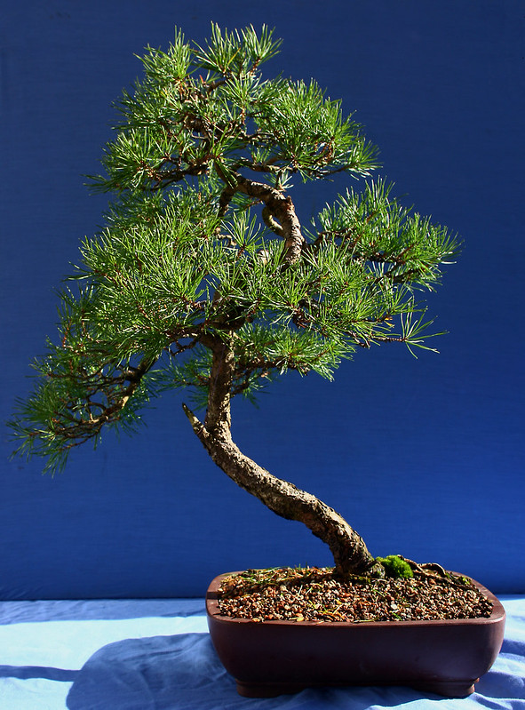 Scots Pine Back Oct 2012