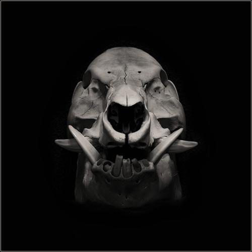 Male Wild Boar Skull by Ben Locke (Ben909)