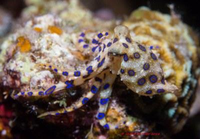 Blue Ringed Octopus (Hapalochlaena lunulata) Okinawa