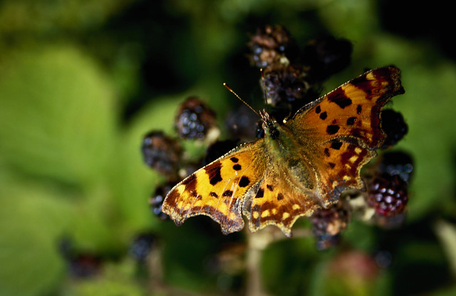 Comma Upper Wing Butterfly on Blackberries - Down Hall Country House Hotel