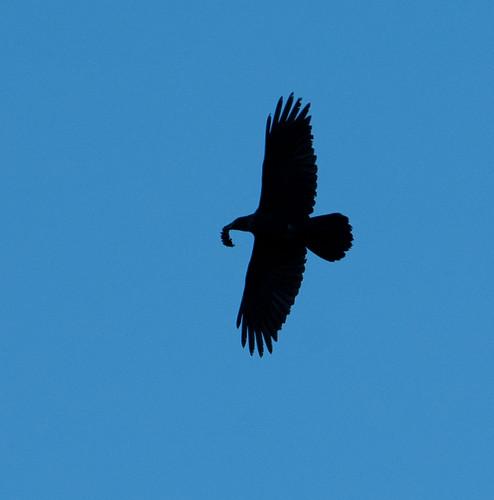 ravens 125