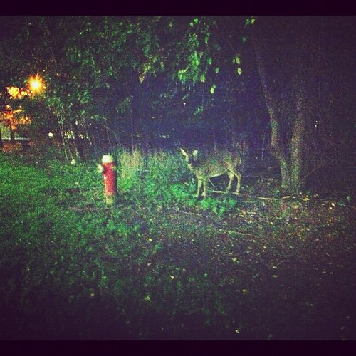The deer have been desensitized to people on campus. I was a metre away  and it didn't run...