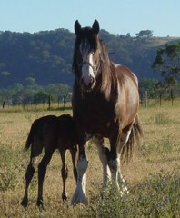 A Foster Mare and Foal at Stud