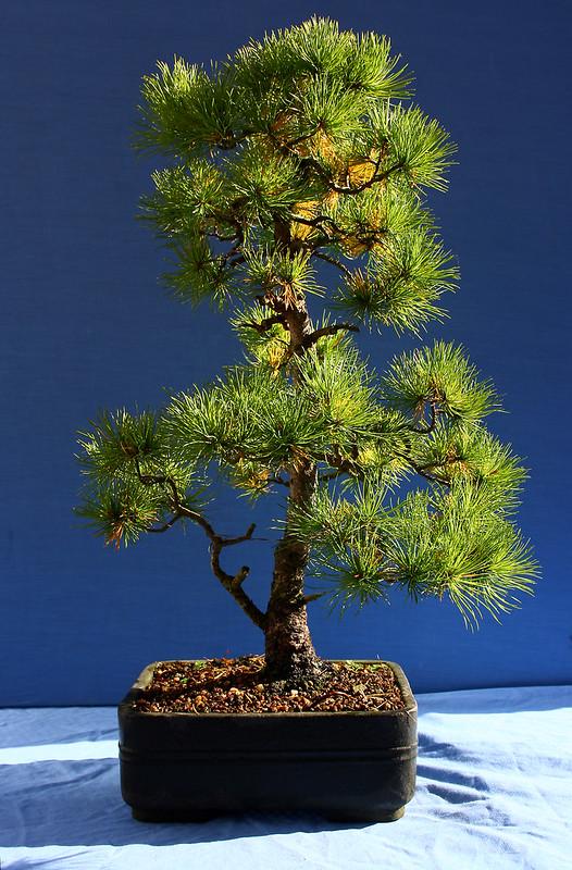 Noelanders White Pine