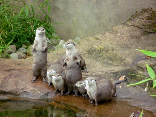six otters on rocks at the edge a pond in a zoo. Two are standing straight up, meerkat-style.