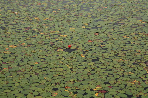 Bobber in Lily Pads (Fishing was difficult!)
