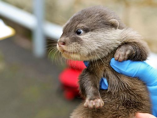 an otter pup is being held in blue-gloved hands.