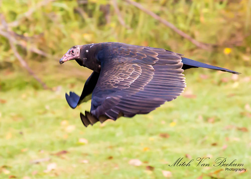 Mr. Ugly - Turkey Vulture
