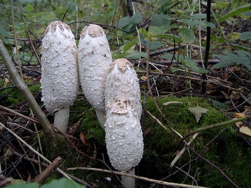 Shaggy Ink Caps - Coprinus comatus