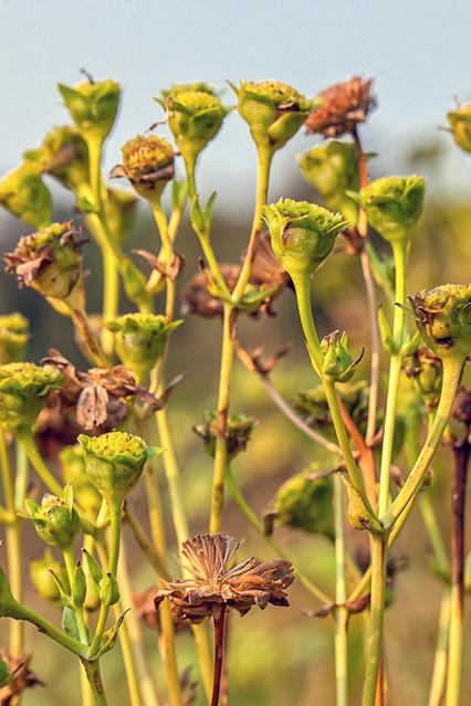 Tall Grass Prairie - Seedheads