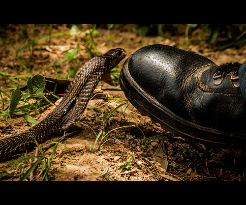The bite of the Cobra by Rajanna @ Rajanna Photography