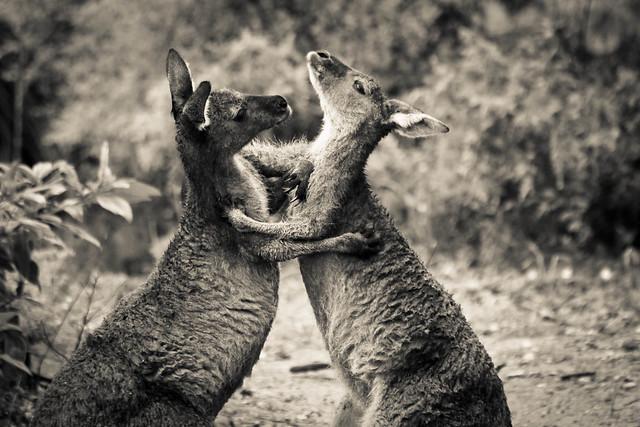 Fighting Roo's