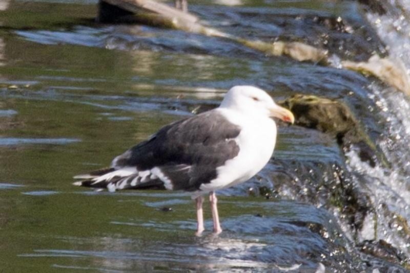 _DSC4072 Great black-backed gull