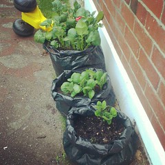 Spuds growing in bag