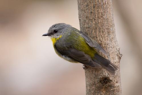 Eastern Yellow Robin 2013-01-26 (_MG_0040)