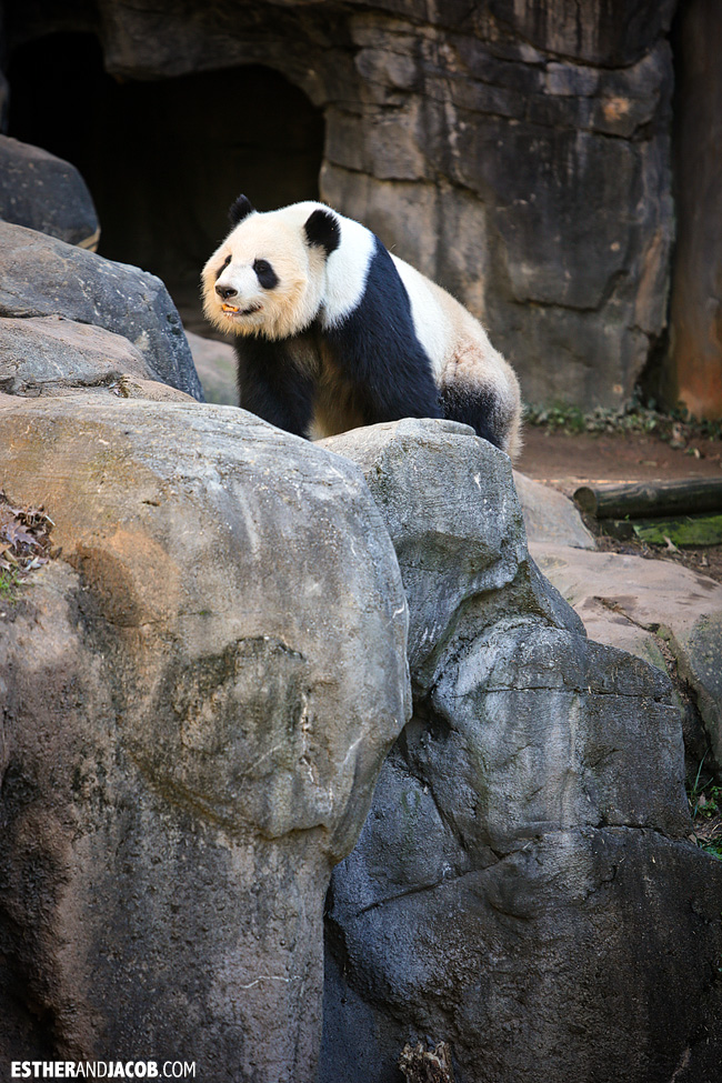 Panda at Zoo Atlanta | Tourists at Home Atlanta Edition