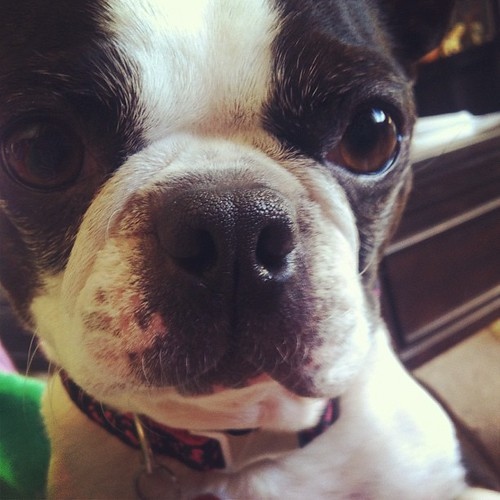 Aiko wants to play , what else is new? #bostonterrier #dogsofinstahram #ilovemydog