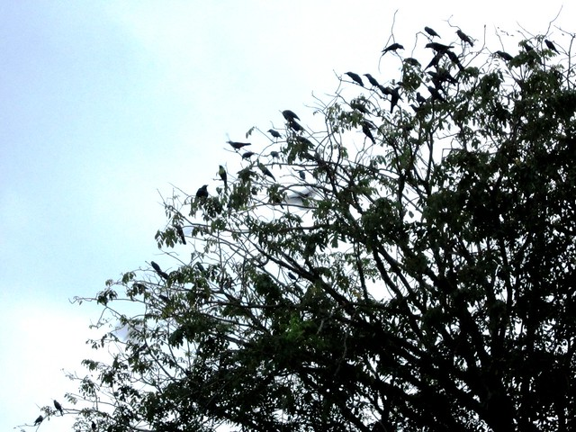 Birds in the tree at Dengkil, Selangor