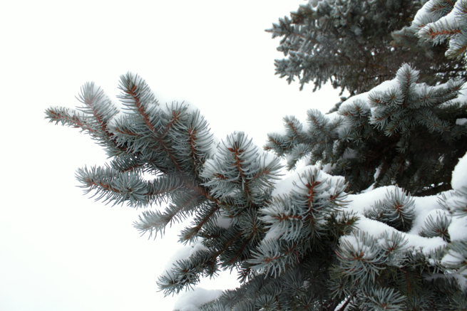 Fir Tree in the snow