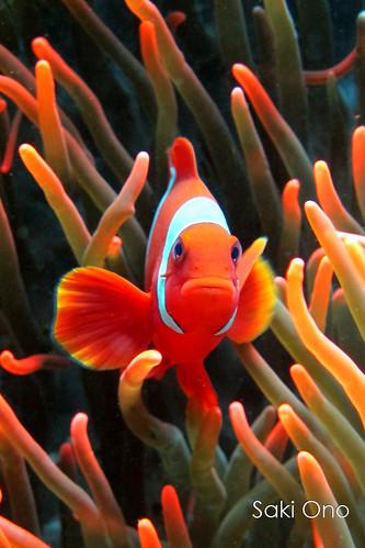 Spine-cheek Clownfish (Tulamben, Bali)