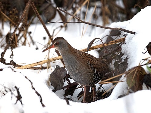 Water Rail-amongst the undergrowth