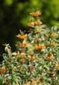 Photo Challenge: 283/366 Lion's Tail (Leonotis menthifolia)