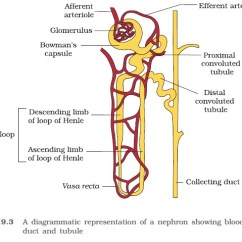Nephron Diagram From A Textbook Central Locking Wiring Ncert Class Xi Biology Chapter 19 Excretory Products And Their Pct Hairpin Shaped Henle S Loop Is The Next Part Of Tubule Which Has Descending An Ascending Limb Continues As Another