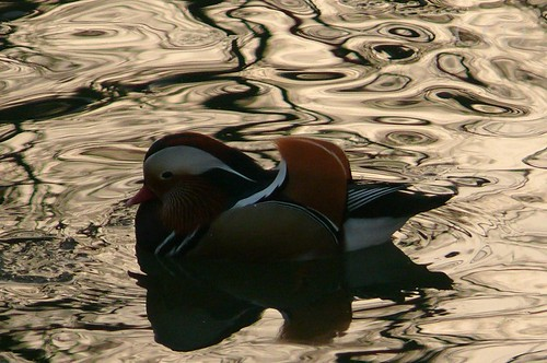 Mandarin Duck..