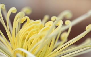 Chrysanthemum / 菊(きく)