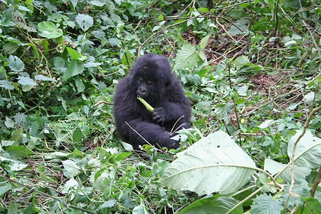 juvenile gorilla chewing