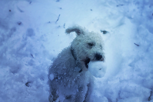 Schnoodle catching a snowball