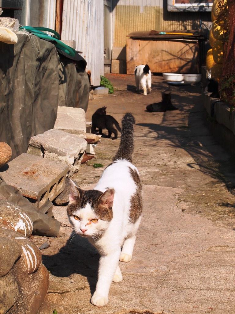 tashirojima (cat island)