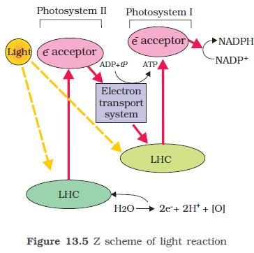 photosynthesis z scheme diagram rat biceps femoris ncert class xi biology chapter 13 in higher plants