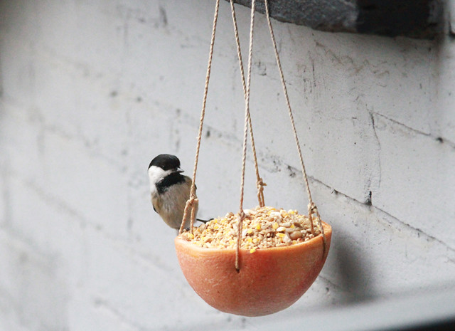 chickadee on grapefruit feeder