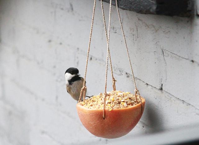 chickadee on grapefruit feeder