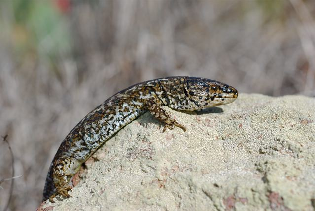 Island night lizard on Rock Side