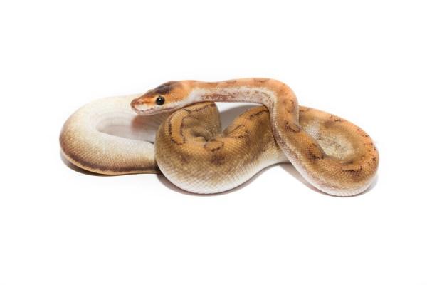 Snakes White - Ssnakess Reptile Forum