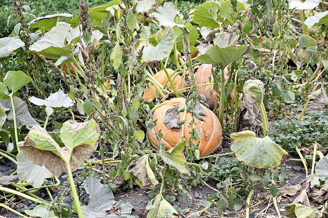 the only pumpkins in the patch