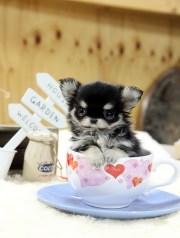 top quality long hair teacup chihuahua