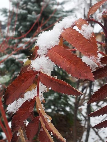 Snow on Sumac