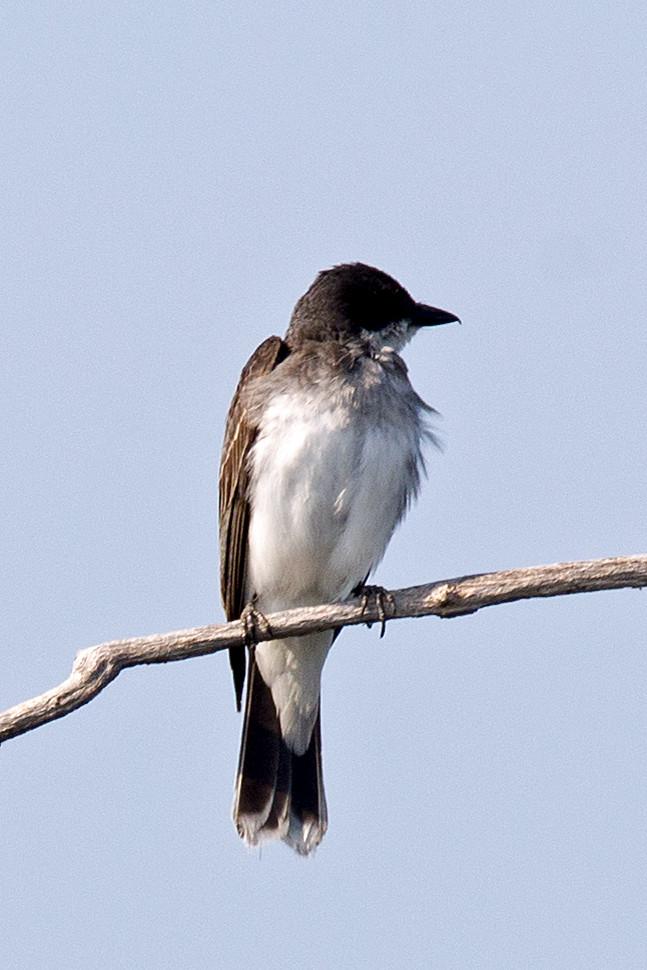 _DSC2342 Eastern Kingbird