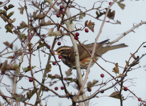 Redwing in the hawthorn