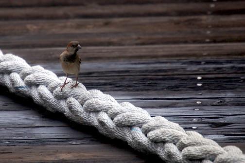 sparrow on line