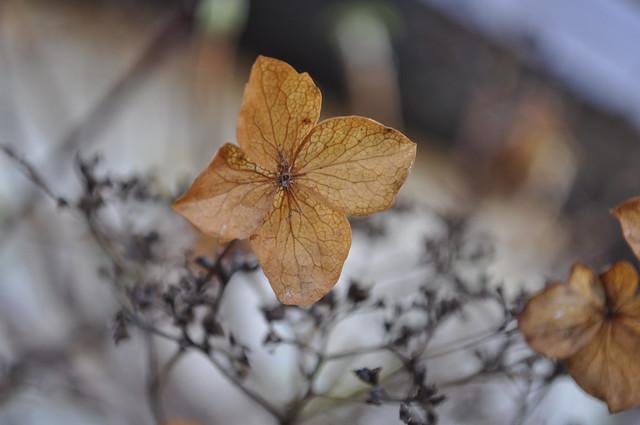 2012-11-14 Hydrangea 01